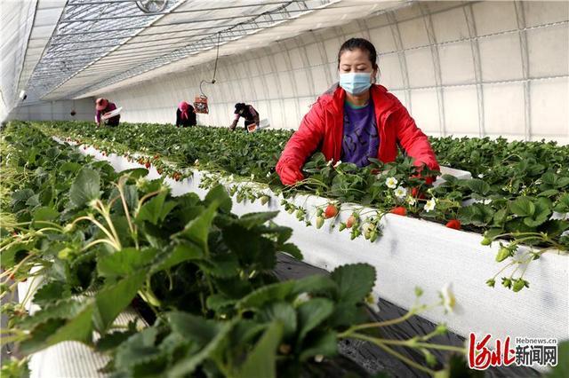河北:冬月里来草莓香